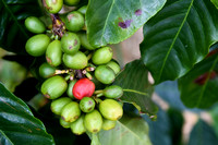 Red_Coffee_Cherry_D72_3070