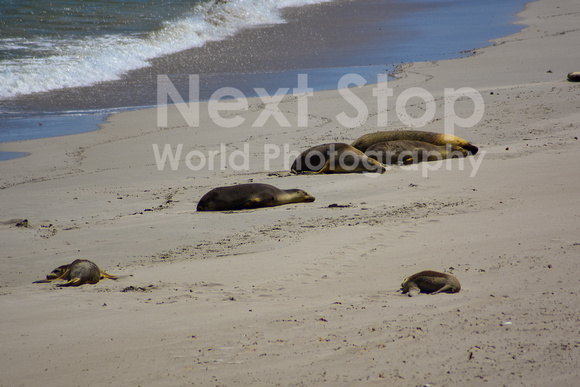Colony of Australian sea lions resting
